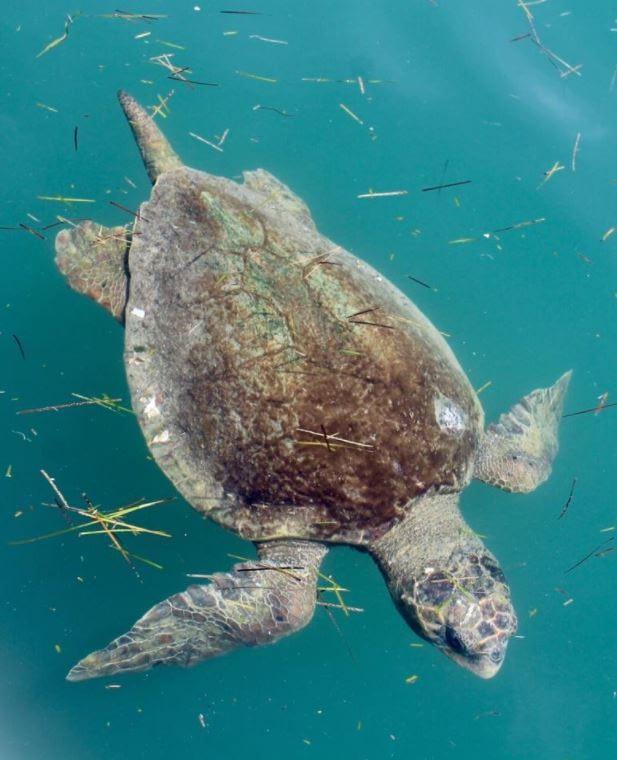 Large Turtles